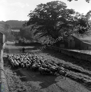 Sheep, Harewood Estate